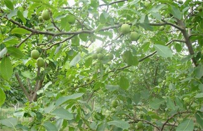 核桃树的施肥方法