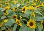 向日葵花蕾期的管理要点