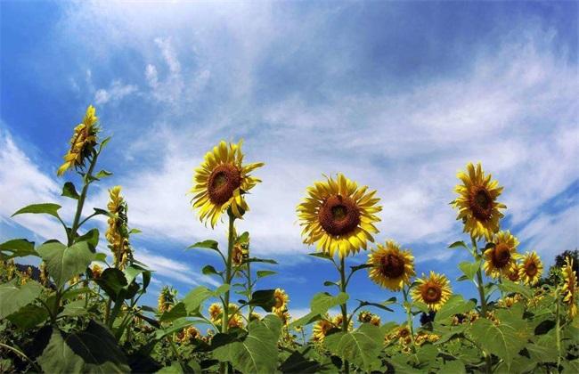 向日葵 不同生长阶段 管理