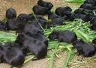 2019年黑豚养殖前景分析