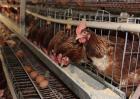 2019蛋鸡养殖前景如何