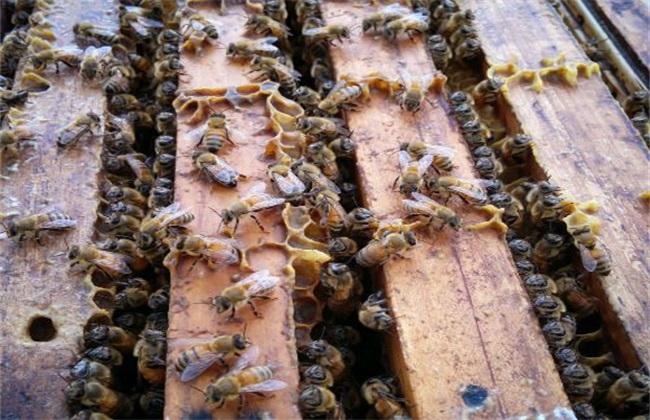蜜蜂失王有什么现象