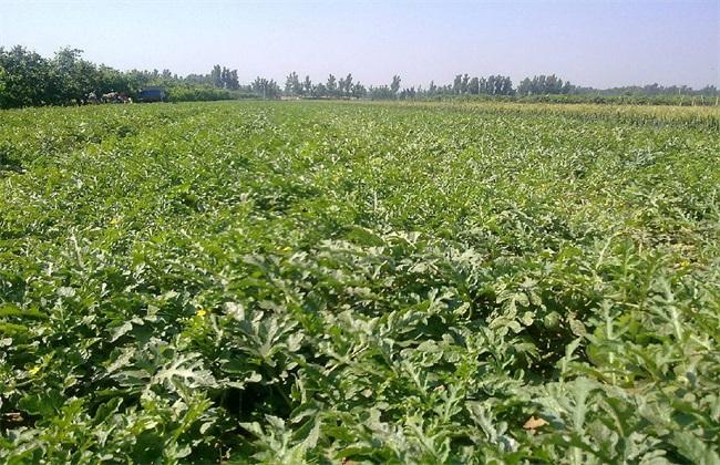 2019年 西瓜 种植前景