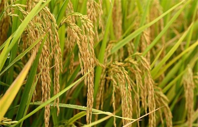 2019年水稻怎么种赚钱