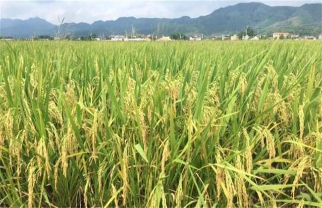 2019年 水稻怎么种 赚钱