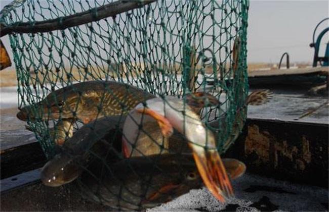 狗鱼 养殖 技术