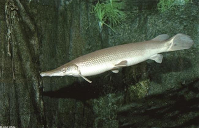 白斑狗鱼 养殖 技术
