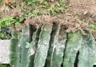火龙果的繁殖方法