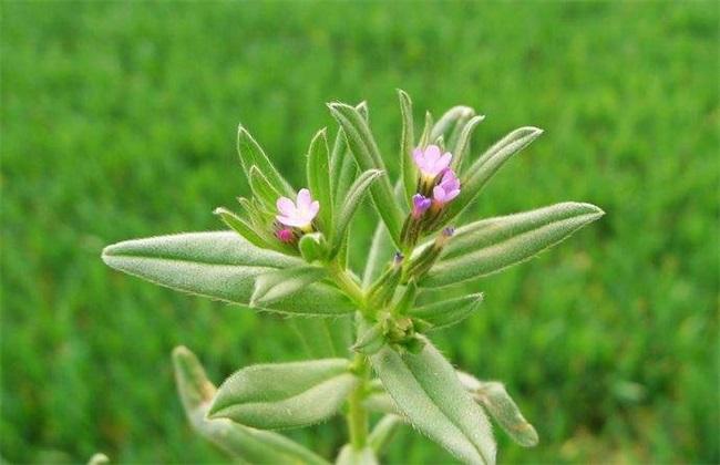 紫草栽培管理要点