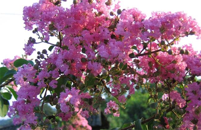 紫薇 种植 方法