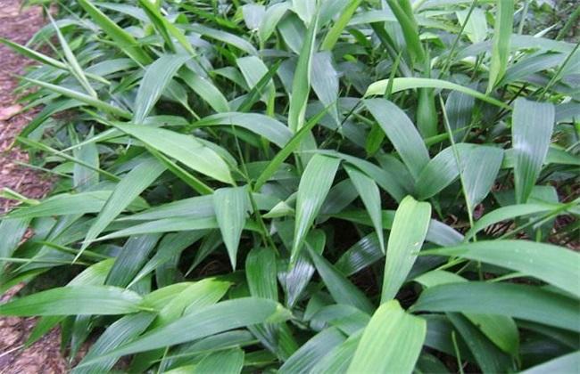 淡竹叶 种植 技术