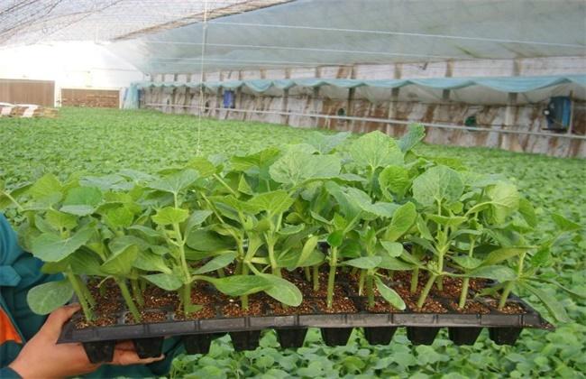 冬瓜种子的催芽方法