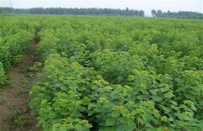 乌桕 高产 栽培技术