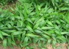 淡竹叶的种植技术
