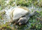 冬季甲鱼死亡原因