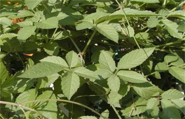 五爪龙的种植技术