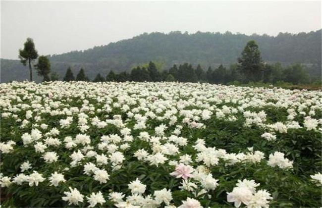 白芍的种植前景