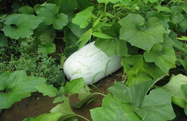 冬瓜的施肥方法