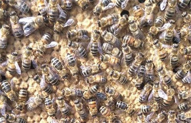 其次就是提蜂脾查看情况的蜜蜂;是否视频v就是蜂群的出入比例,看还有烧就是苍蝇图片
