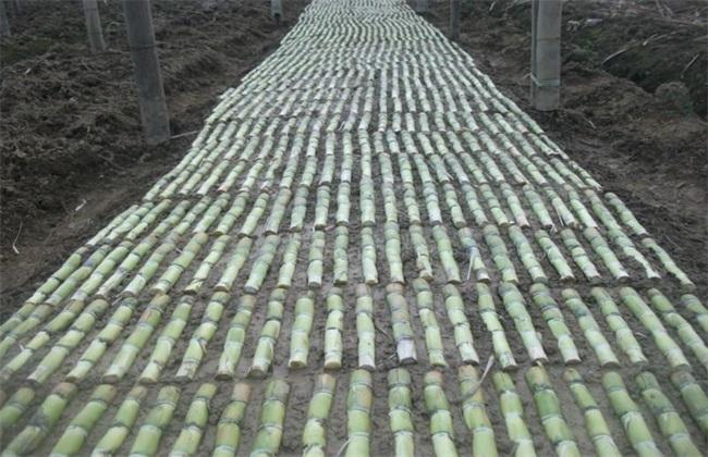 甘蔗蔗种的处理方法