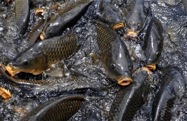 鲤鱼养殖成本与利润分析