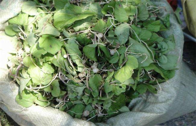 青天葵的种植技术