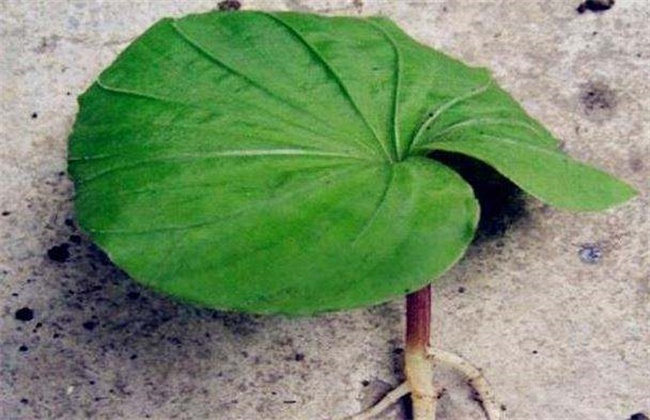 青天葵多少钱一斤