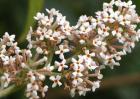 密蒙花的种植技术