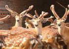 如何提高鹿茸的产量