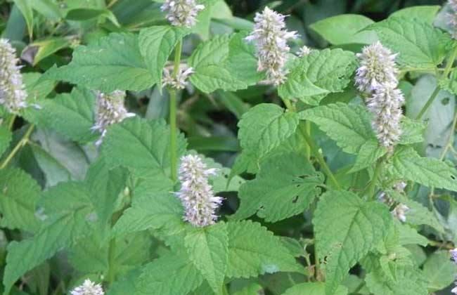 藿香种植前景分析