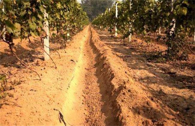 葡萄秋施基肥有什么好处
