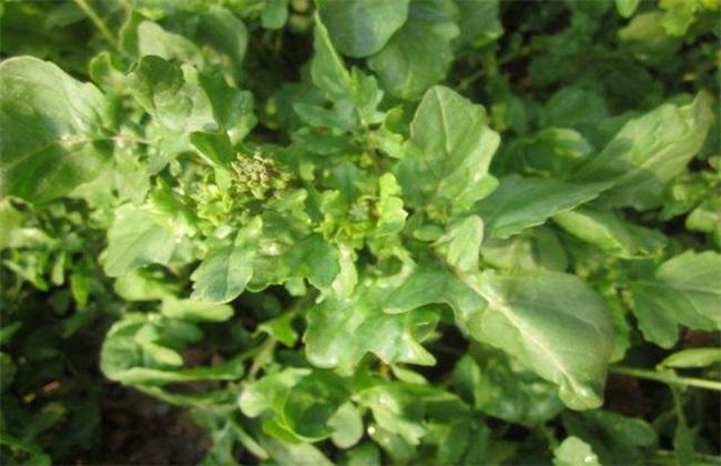 芝麻菜的种植方法