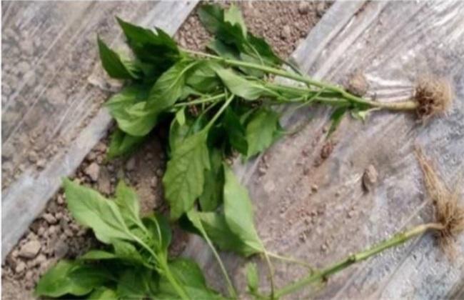 辣椒定植后 缓苗不良 原因