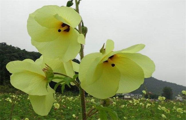 金花葵的栽培技术