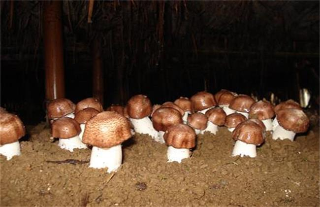 姬松茸生长 环境条件 要求
