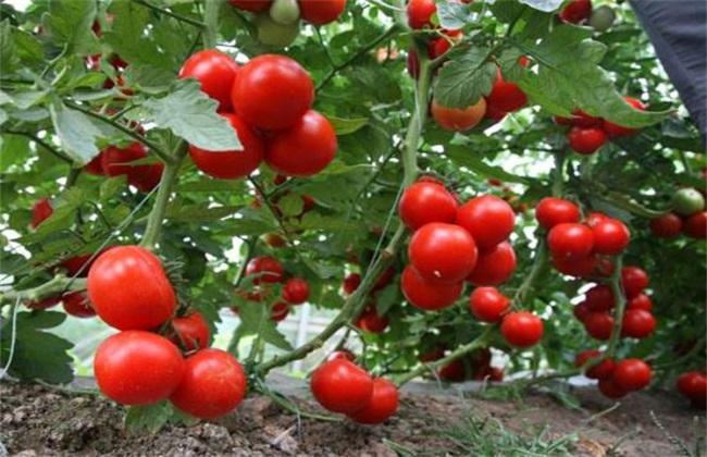 黑番茄 番茄 区别