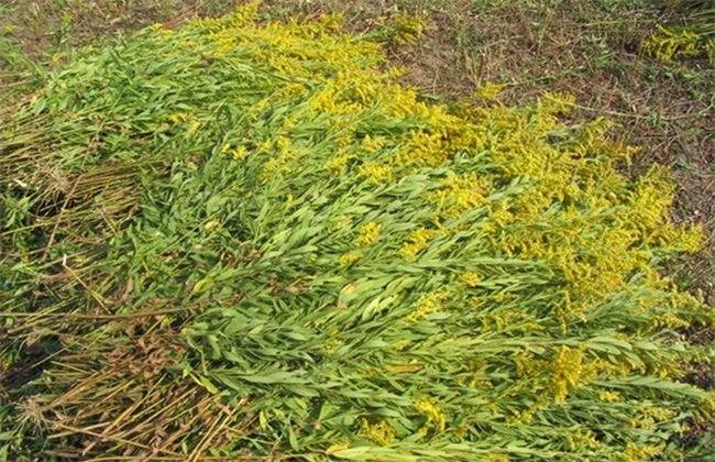 一枝黄花的种植技术