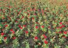 百日草的栽培技术