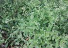 紫草种植条件