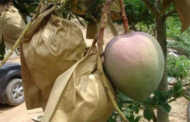 芒果 套袋 技术