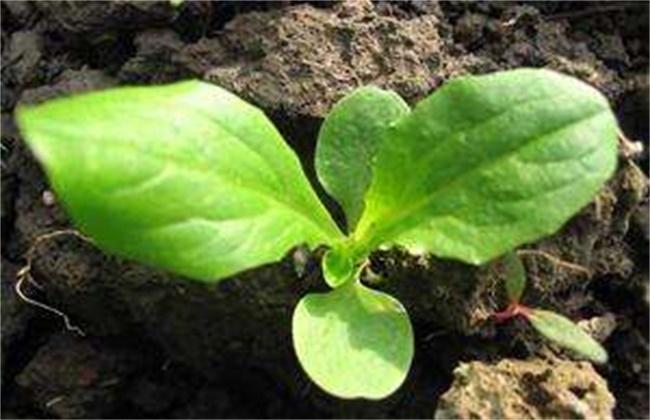 莴笋种子催芽方法