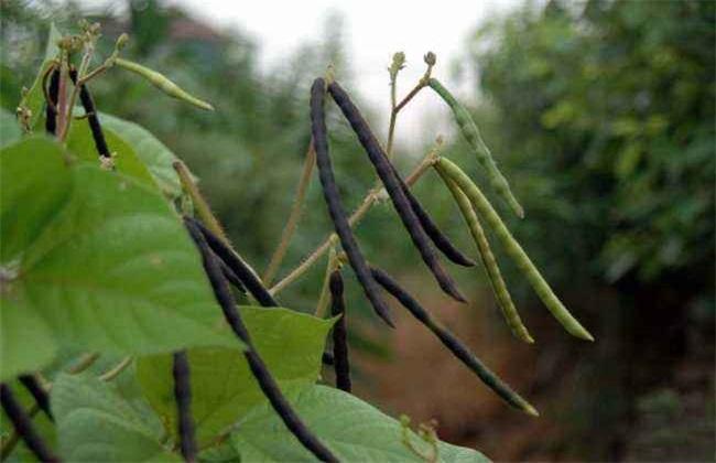 红小豆 种植 技术