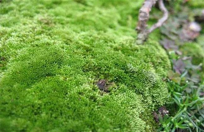大棚长绿苔怎么办
