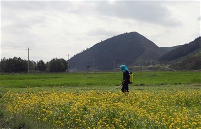 油菜种植的田间管理