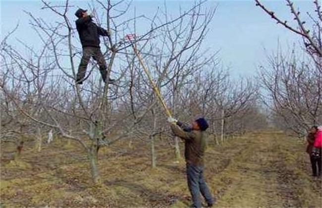 苹果树生长失衡如何修剪