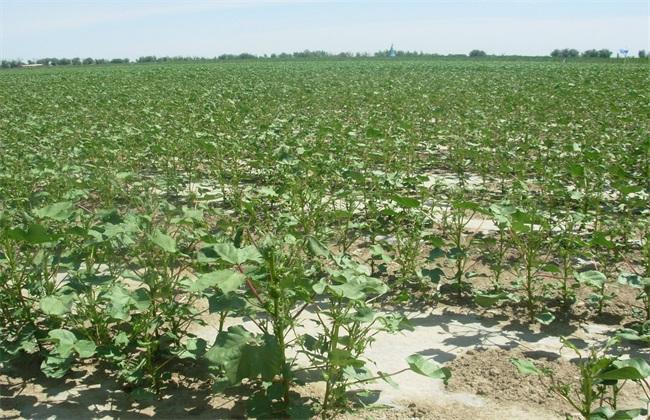 棉花 播种后 常见问题