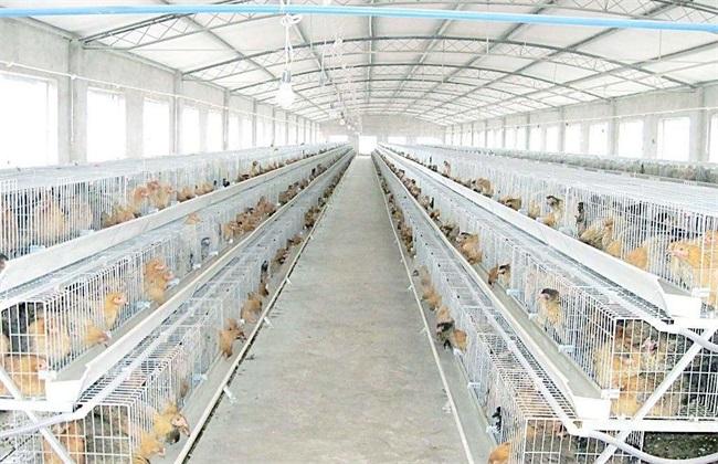 鸡舍的温度控制及注意事项