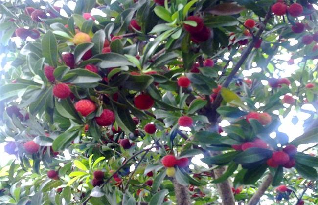 杨梅 采摘后 果树管理