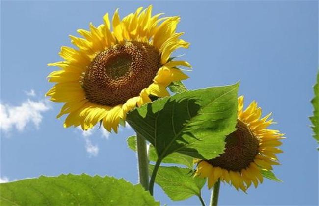 向日葵怎么人工授粉图片