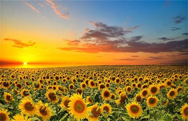 向日葵怎么授粉图解图片